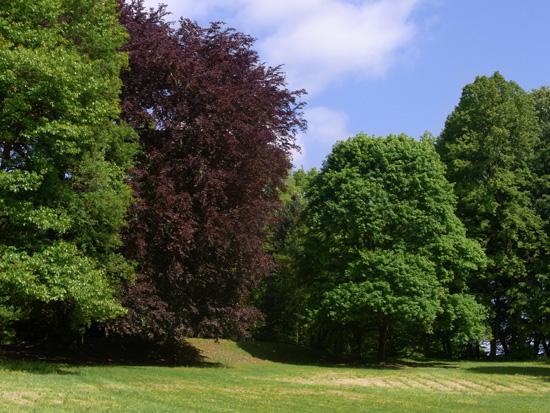 Blick zur Heinrich-Heine-Buche im Park